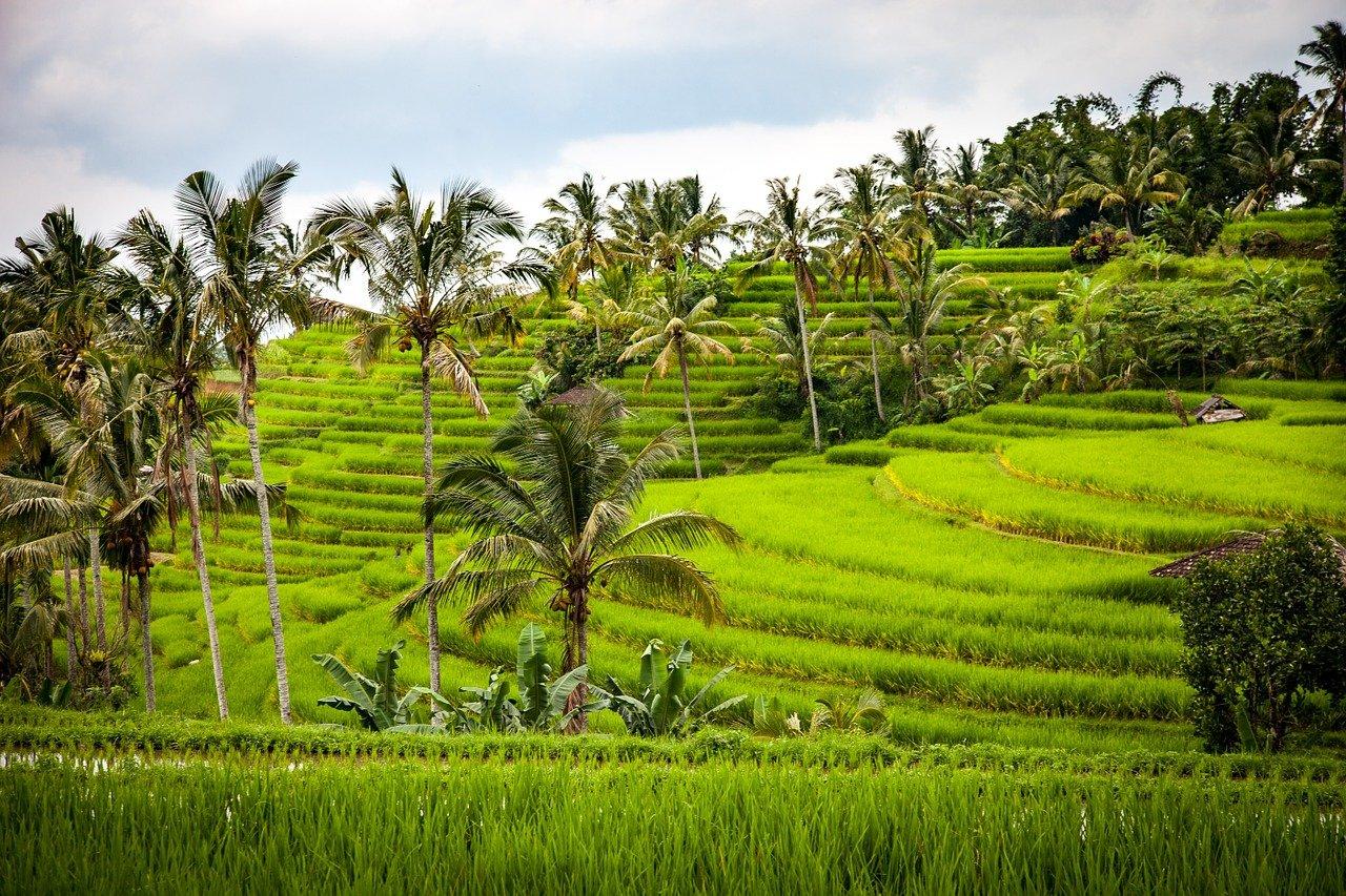 Rizière en Indonésie